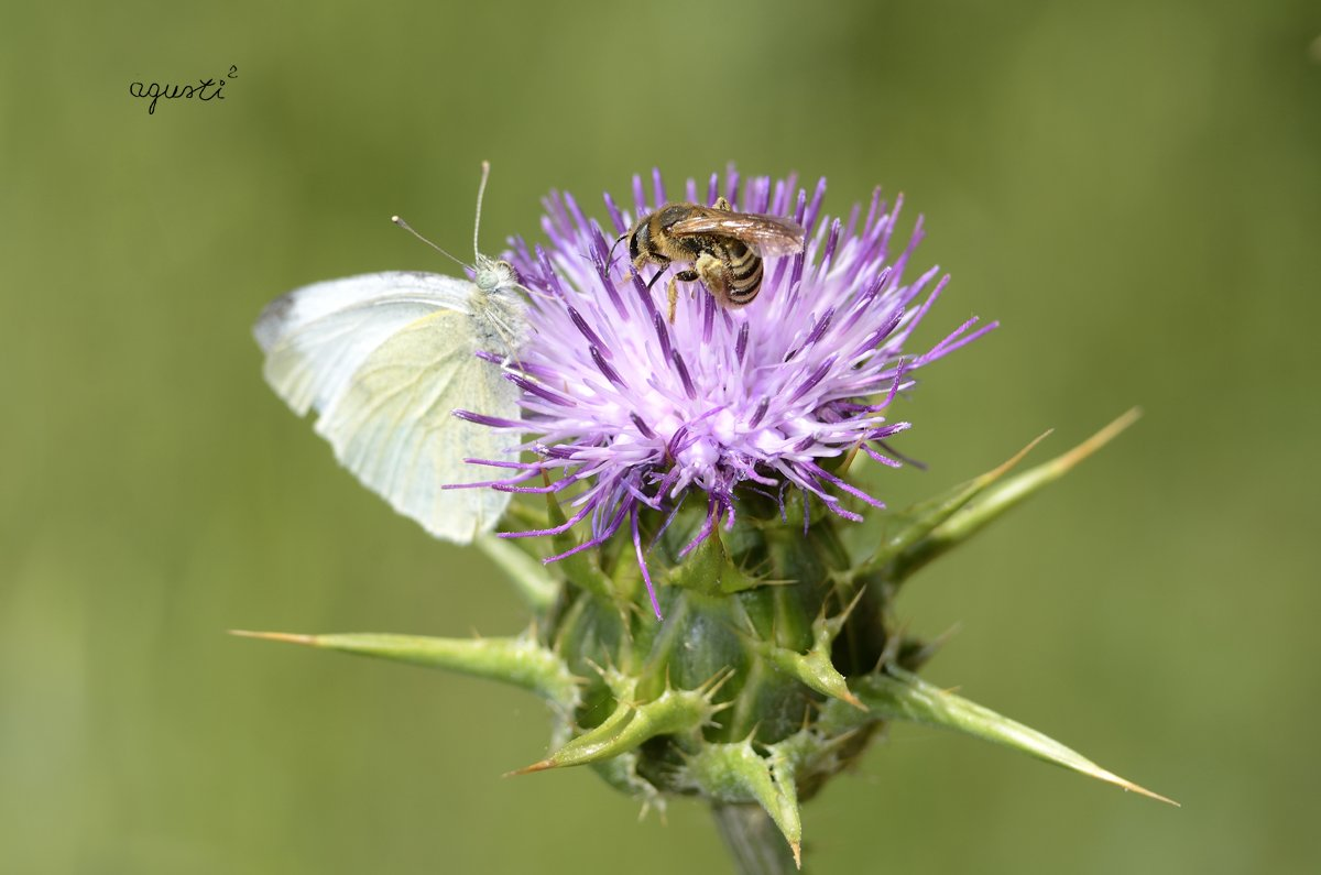 pallona i abella - valles occidental